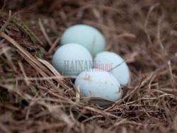 高营养价值鸡蛋--海南黒鸡绿壳鸡蛋