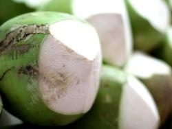 海南红椰和青椰的区别?