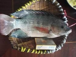 """海南文昌潭牛的""""福寿鱼""""是什么鱼?"""